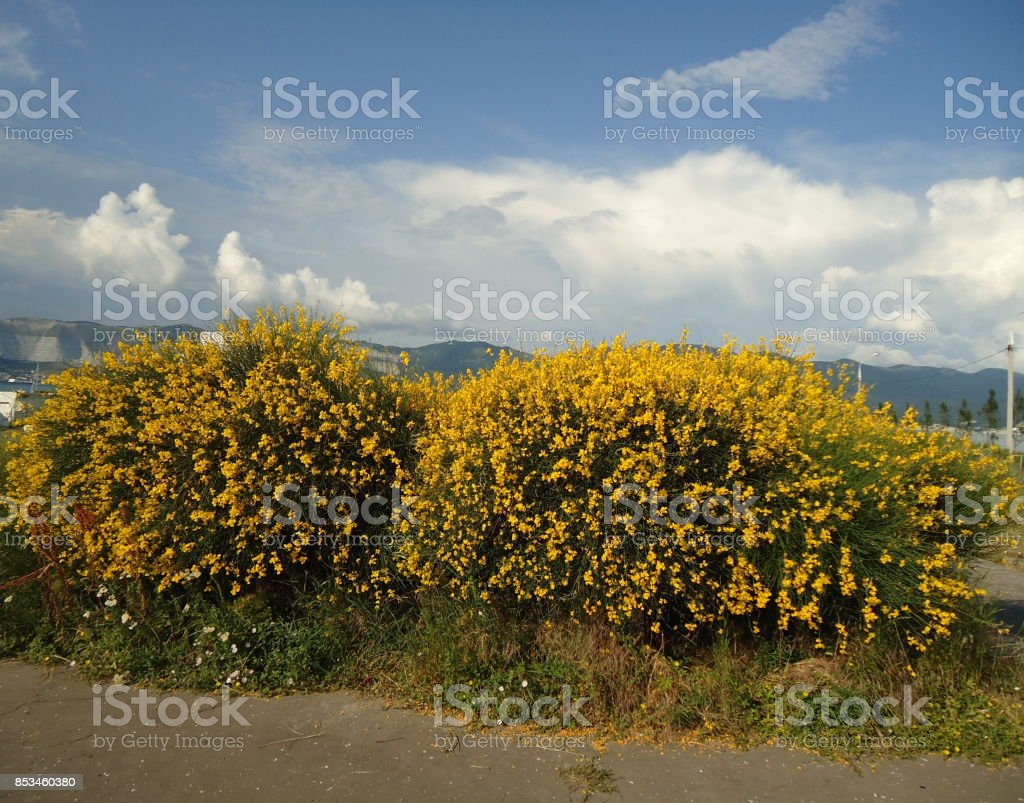 Two big spartium shrubs blooming profusely along a sidewalk. Spanish broom. Weaver's broom. stock photo