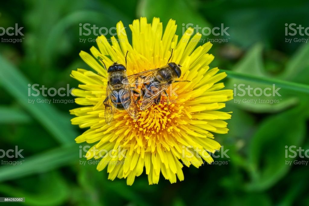 two big striped flies on a yellow flower royalty-free stock photo