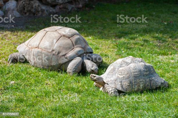 Two big turtles rest on the ground picture id824558632?b=1&k=6&m=824558632&s=612x612&h=0ktmxpbkyb7thpksd8sojlmtini3ow64qtsn3qkjhca=