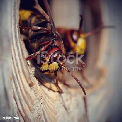 972704120istockphoto Two big wasps - hornets 538358700