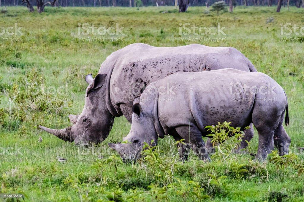 Two big white rhino. Nakuru, Kenya royalty-free stock photo