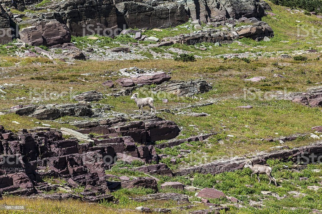 Two Bighorn Sheep royalty-free stock photo