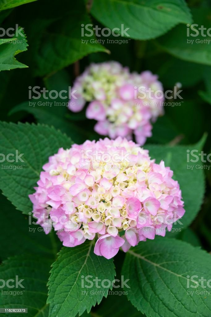 Two Bigleaf Hydrangea Heads Stock Photo Download Image Now Istock