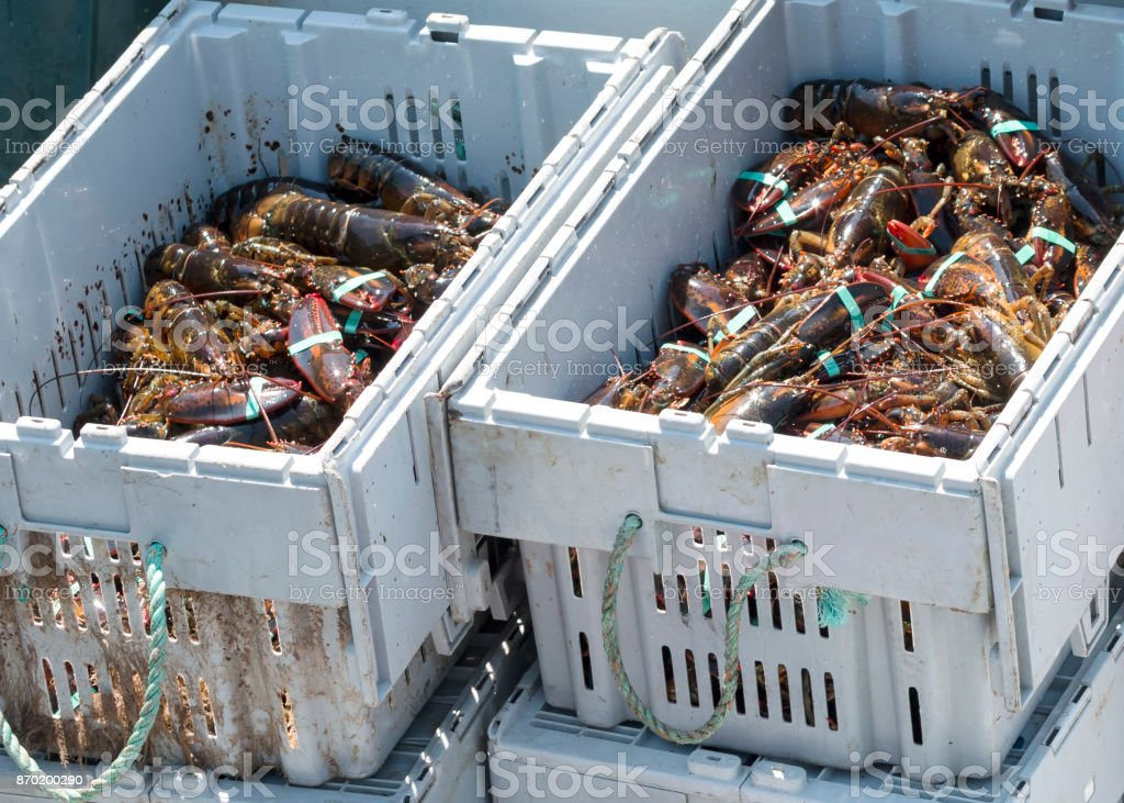 Two bins full of freshly caught Maine lobsters stock photo