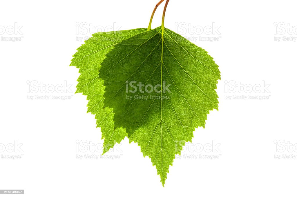 Two birch leaves stock photo