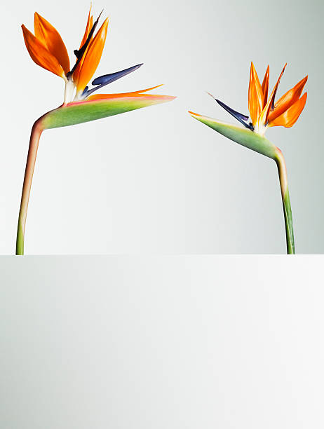 Two bird of paradise flowers face to face stock photo