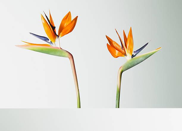 Two bird of paradise flowers turning away picture id103332786?b=1&k=6&m=103332786&s=612x612&w=0&h=o0y1xce8yq77pgbiyy0ql9jbc7hgjxmlcyrozmf0ngi=