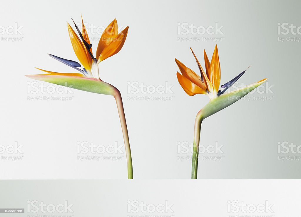 Two bird of paradise flowers turning away stock photo