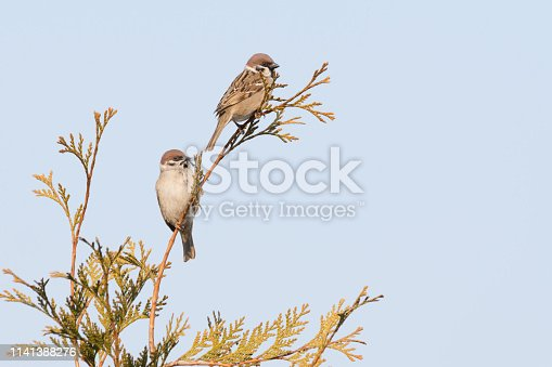 521620252 istock photo two birds are sitting on a branch . sparrows against the blue sky 1141388276