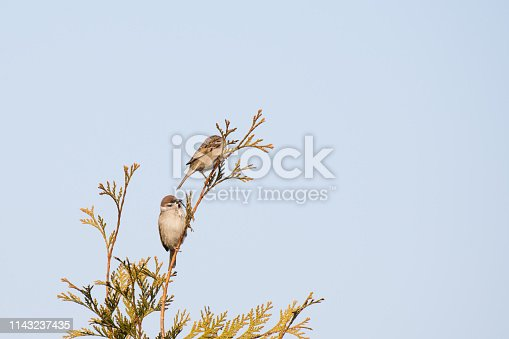 521620252 istock photo two birds are sitting on a branch . sparrows against the blue sky 1143237435