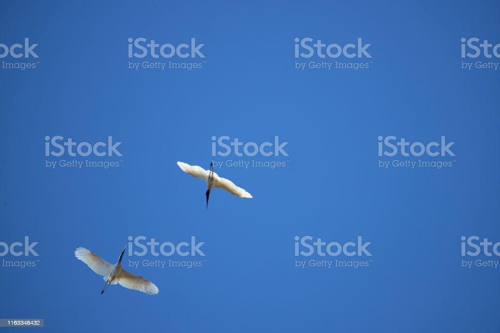 Black and white bird in the nest against blue sky. Tuiuiu in...