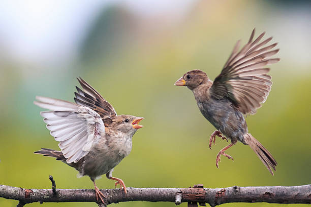 two  birds fighting evil on a branch stock photo