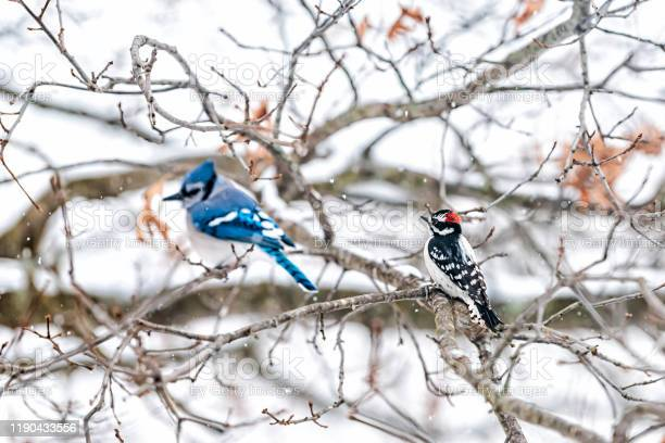 Photo of Two birds friends perching together with blue jay, Cyanocitta cristata, and downy or hairy woodpecker sitting on oak tree during winter in Virginia