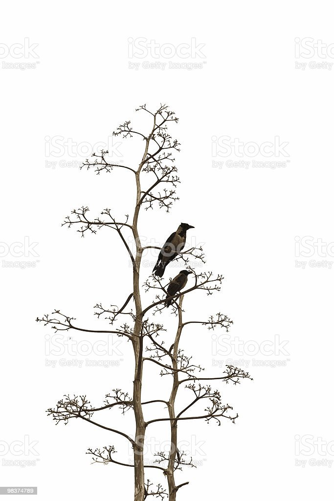 Two birds on Isolated white background royalty-free stock photo