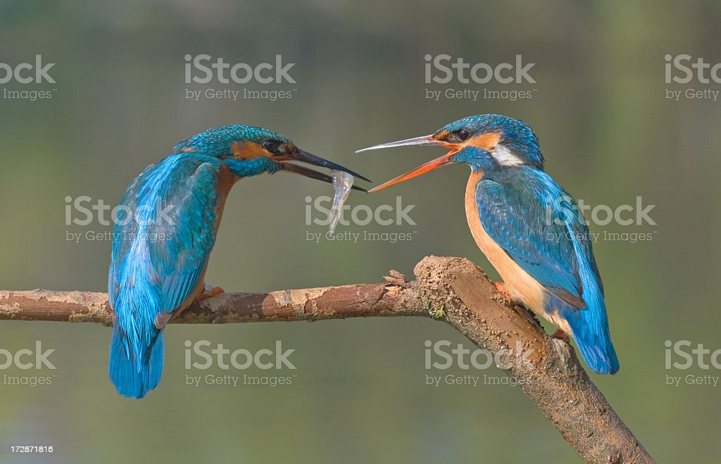 Two birds sharing a snack of fish royalty-free stock photo