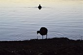 Two birds are silhouetted on a lake. One stands in the foreground on the edge of the lake and the other swims in the distance behind it.