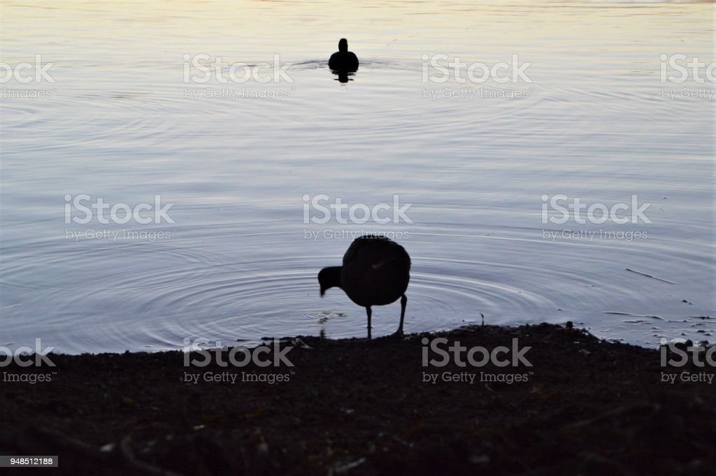 Two birds silhouetted on a lake stock photo