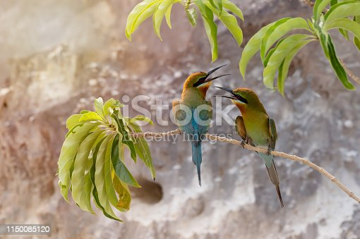 Pair of Blue-tailed bee-eater facing each other with open beak on tree branch , Phuket, Thailand. Two birds talking
