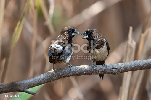 White-rumped munia bird facing each other.Two birds talking