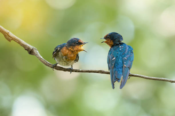 Two birds talking Two Pacific Swallow( Hirundo tahitica ) birds facing each other with open beak. face to face stock pictures, royalty-free photos & images