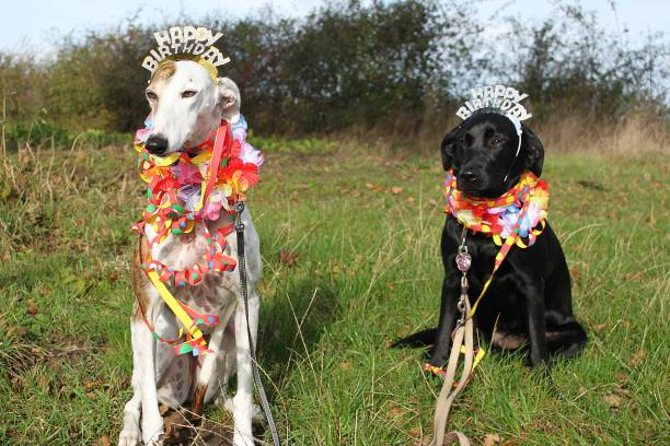 two birthday dogs in the garden two funny decorated birthday dogs are sitting in the garden sight hound stock pictures, royalty-free photos & images