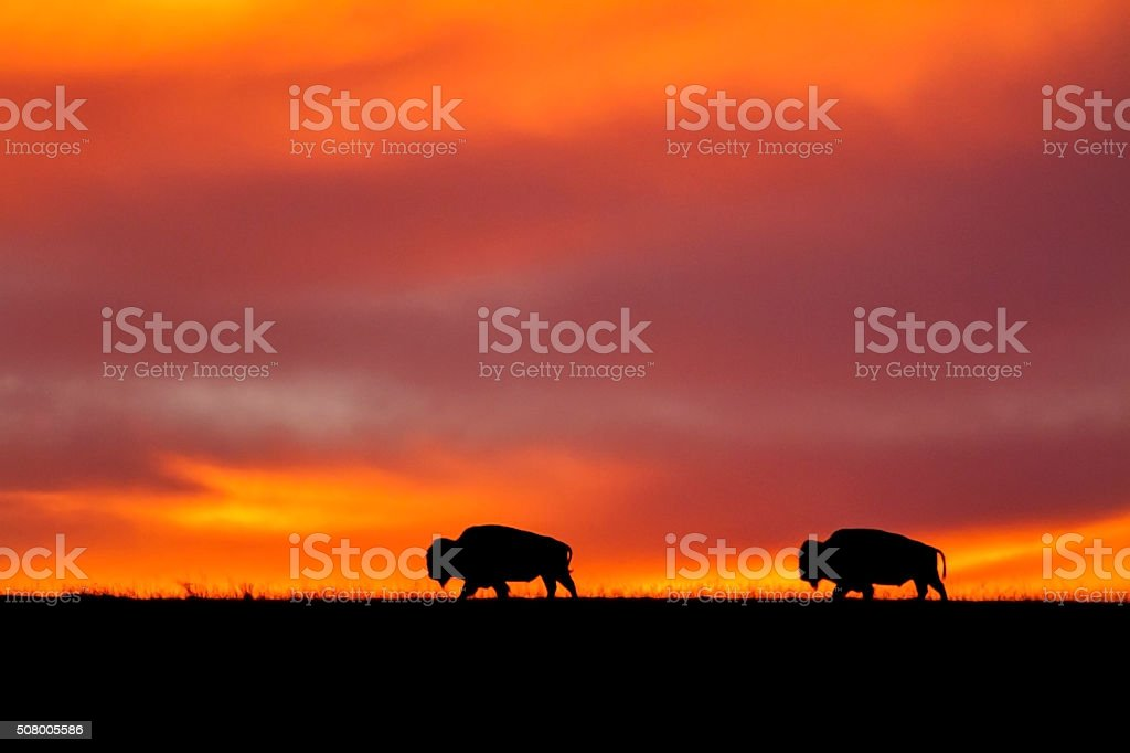two bison silhouettes at sunrise stock photo
