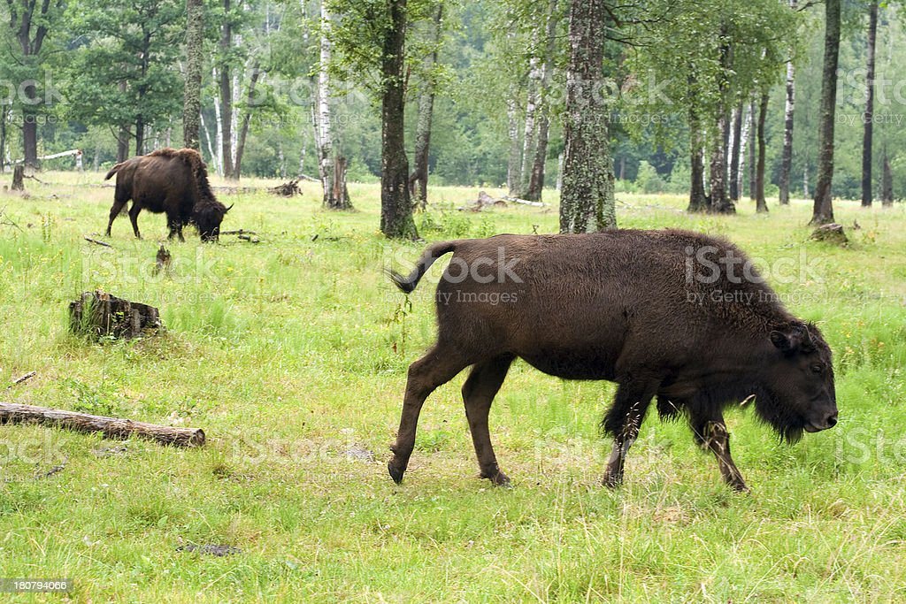 Two bisons in the summer forest royalty-free stock photo