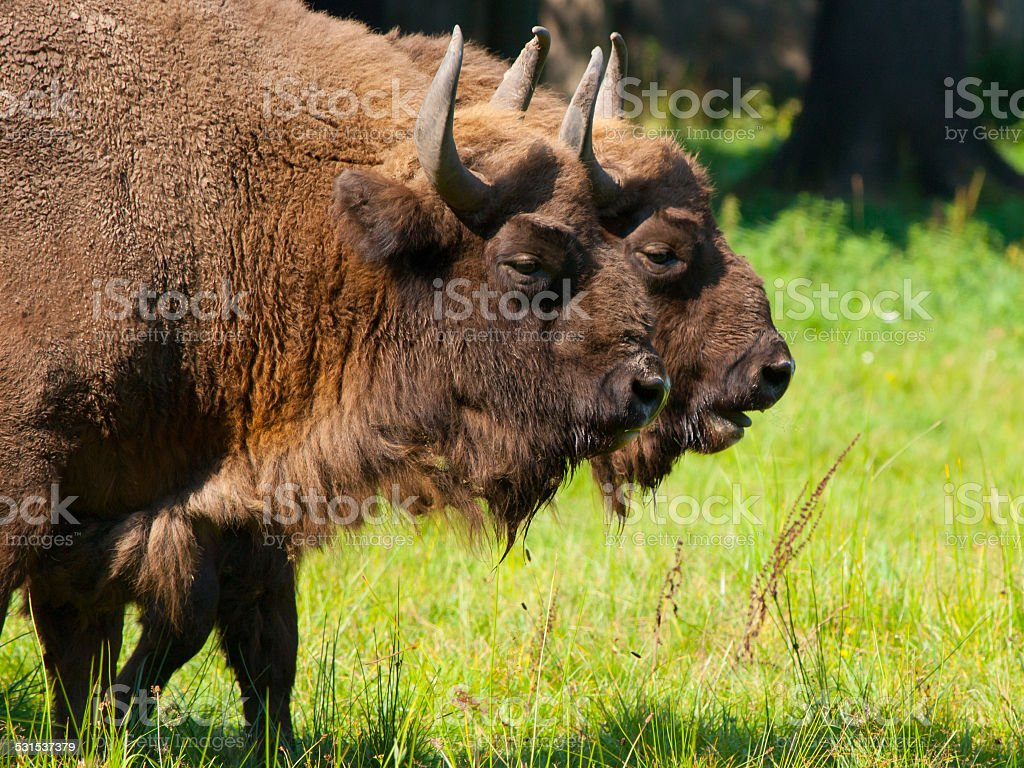 Two bisons stock photo