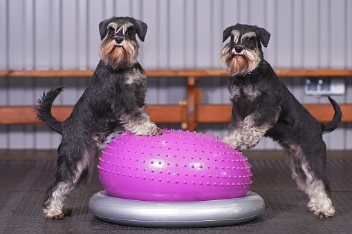 Two black and silver Miniature Schnauzer dogs with natural ears and undocked tails posing together indoors standing on an inflatable pink balance donut placed on a grey holder