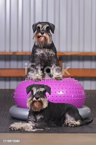 Two black and silver Miniature Schnauzer dogs with natural ears and undocked tails posing together indoors with an inflatable pink balance donut placed on a grey holder