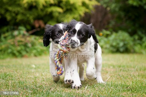 two cute spaniel puppies retrieving a rope toy together