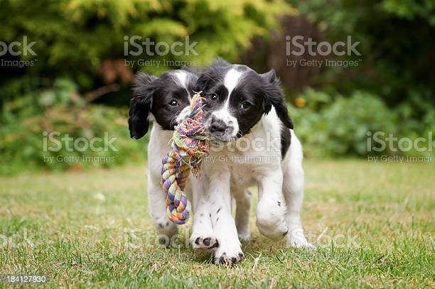 Two black and white puppies working as a team to carry rope picture id184127930?b=1&k=6&m=184127930&s=612x612&h=xrsmdy2cuobbyo 3tb9iwddtzjgevrohugtvx1dr 7u=