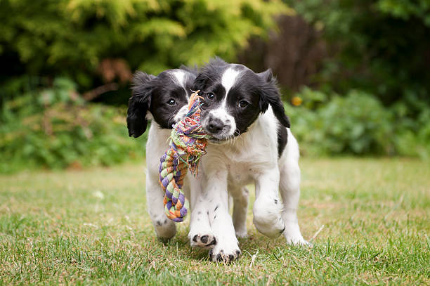 Two black and white puppies working as a team to carry rope picture id184127930?b=1&k=6&m=184127930&s=612x612&w=0&h=otrqbjvqwyhkbxe6gccy9xazvsqnl pok6carypc6gq=