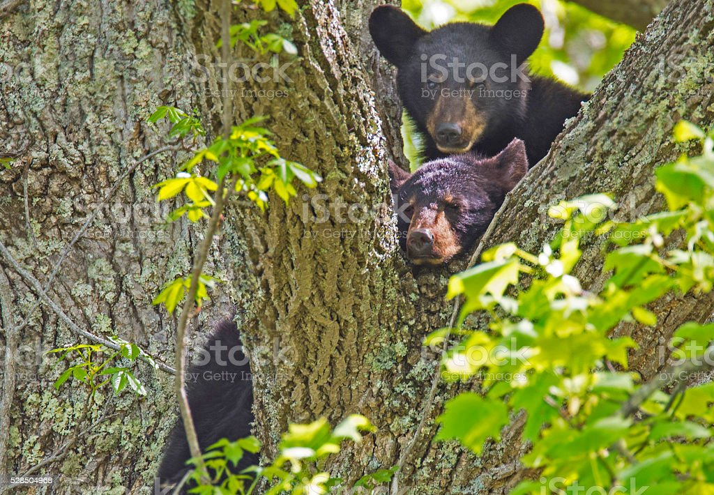Two Black Bear Cubs resting in a tree. stock photo