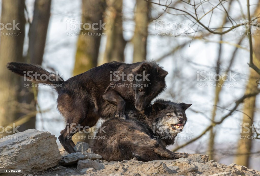 Two Black Canadian Timberwolves Stock Photo Download Image Now