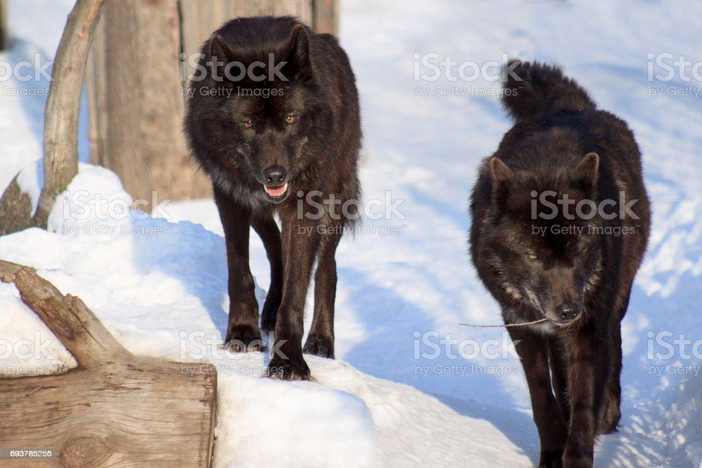 Dois negros lobo canadense estão assistindo suas presas. - foto de acervo