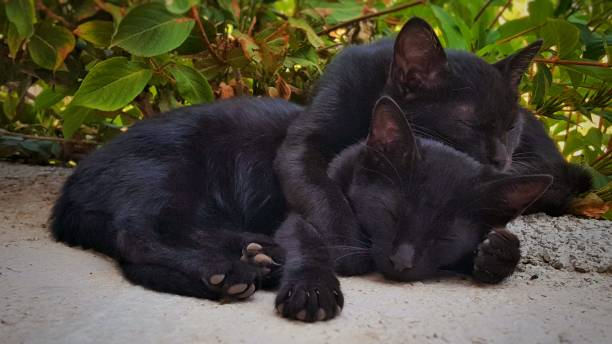 Two black cats brother and sister are hugging while sleep picture id1019650948?b=1&k=6&m=1019650948&s=612x612&w=0&h=62rmlrju4j7rbvfziz7ayhwzt2s18heblpkfrhqi3eo=