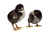 Two black chickens on white background