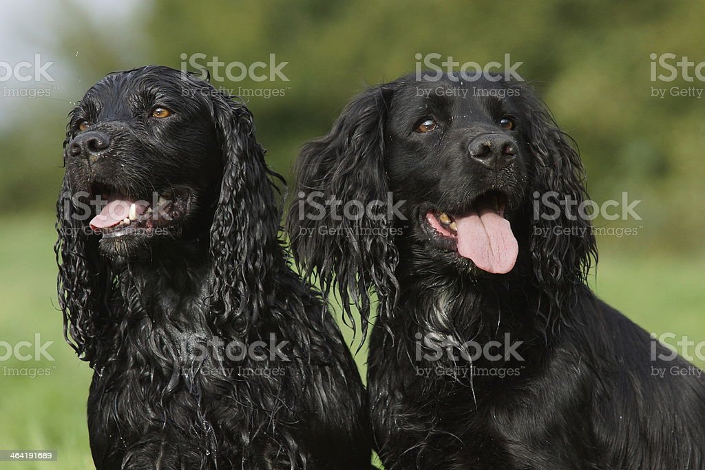 Two black cocker spaniels royalty-free stock photo