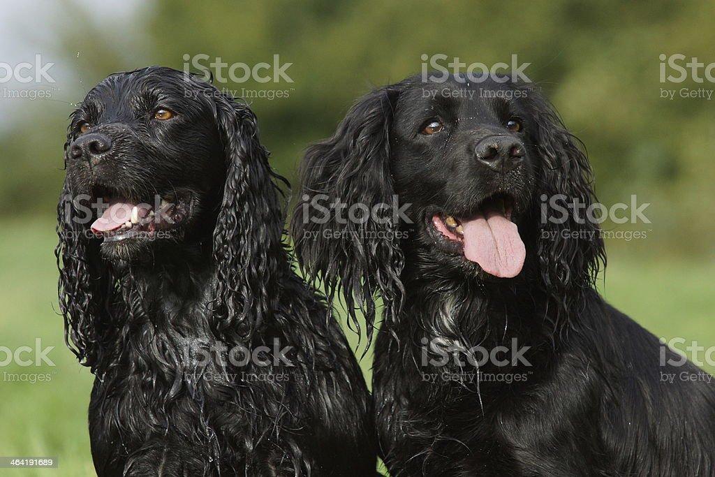 Two black cocker spaniels stock photo