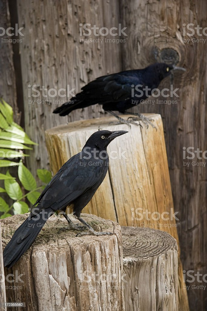 Two Black Crows royalty-free stock photo
