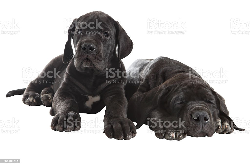 Two black Great Dane puppies, Studio shot, isolated on white. stock photo