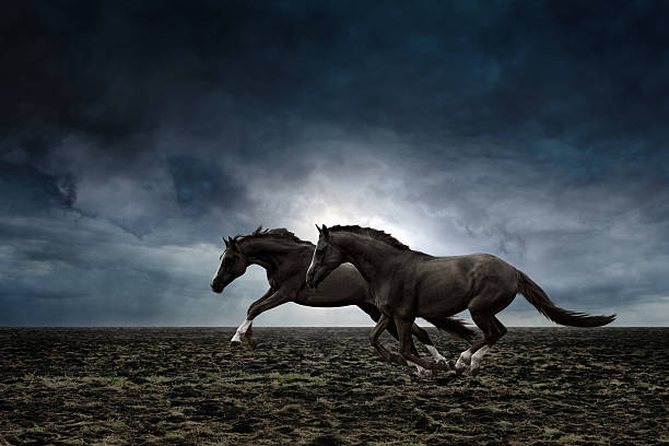 Two black horses Couple black horses running through plowed field in stormy weather stallion stock pictures, royalty-free photos & images