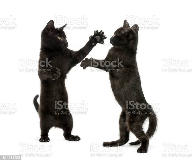 Two black kittens fighting picture id824261208?b=1&k=6&m=824261208&s=612x612&h=cebxz3edmhtbutvu8ghd6jiyrw3utbtbqoylfamlwfi=