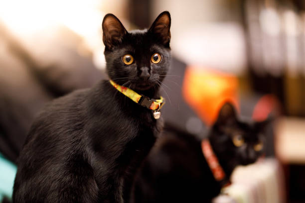 Two black kittens picture id1158735762?b=1&k=6&m=1158735762&s=612x612&w=0&h=d1mphvzzhbgdquaxhliqhfsr8cgd o86quszaspeffg=