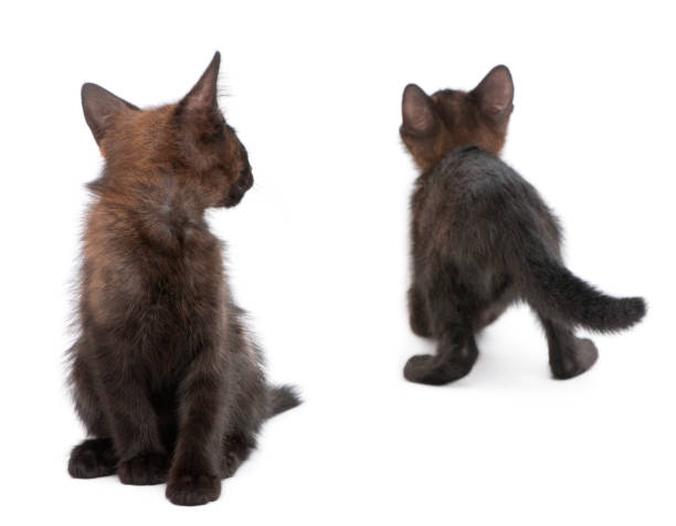 Two black kittens playing together in front of white background picture id877332934?b=1&k=6&m=877332934&s=612x612&w=0&h=jcefr 5vwikwuvzo qo6n4aqd0b0vhat27aeoxztwna=