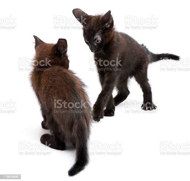Two black kittens playing together picture id119509567?b=1&k=6&m=119509567&s=612x612&h=l0yx1wiitxs1qwce nreywbdkwxjcg3onayyr5or0eq=