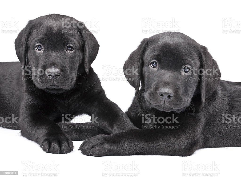 Two Black Labrador Puppies Stock Photo 98168051 Istock