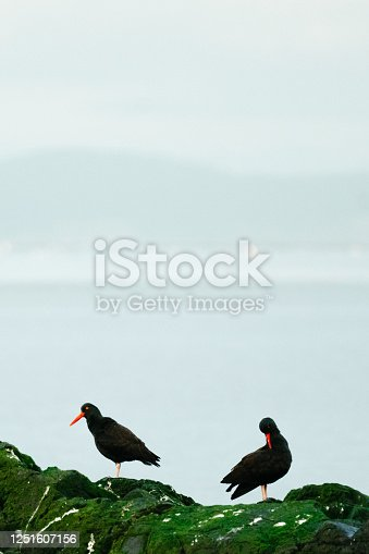 Two Black Oystercatchers on moss-covered rocks at Deception Pass in United States, Washington, Oak Harbor