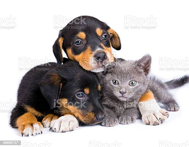 Two black puppies and baby russian blue cat isolated picture id498997371?b=1&k=6&m=498997371&s=612x612&h=qhbun9qnp8e4c1q 8a2qgotsrmddb hzwqvfsss0v8s=